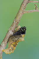 Pipevine Swallowtail, Battus philenor, butterfly emerging from pupa, Uvalde County, Hill Country, Texas, USA