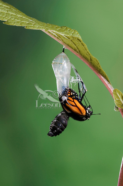 MONARCH BUTTERFLY life cycle..Emergence on Joe-Pye leaf. .North America. Danaus plexippus.