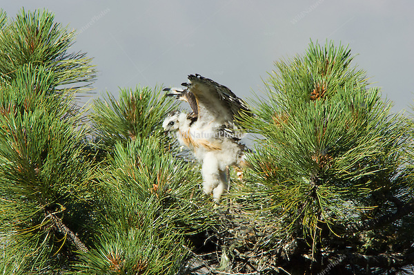 Short-tailed Hawk nest (Buteo brachyurus), Arizona