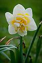 Narcissus 'Unique', early April.