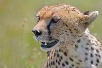 Cheetah, Serengeti National Park, Tanzania, East Africa