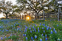 Bluebonnet Sunset at Fence - A cedar wood fence with bluebonnets, and an oak tree at sunset make a nice texas Hill country landscape.  The bluebonnet were growing in front of this wonderful old oak tree as the sunsets cast its ray through the fence giving a hint of light over the wildflowers.  Spring is here and the bluebonnet is the first sign that it is here. We have traveled the backroads of the hill country always searching for good locations and today we found another good spot for the perfect texas bluebonnet landscape. In Texas the bluebonnet along with other wildflowers start coming out in the southern part of the state around Feb and slowly move north through May.  Then we have the summer wildflower that start popping up but most consider the bluebonnet as the main attraction if we can find other flowers that even better but we gotta see the blue bonnets or we feel empty without it.  In any case this was a great catch for a traditional texas bluebonnet landscape, It been a pretty good year but it fading fast in the hill country all good things must come to and end. Well at least till next year!
