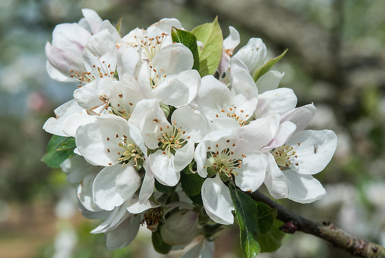 Blossom of Apple 'Laxton's Herald', early May. An English dessert apple first bred in 1905 by Laxton Brothers of Bedford.