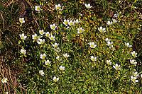 Rasen-Steinbrech, Rasensteinbrech, Rosenblütiger Steinbrech, Saxifraga rosacea, Irish saxifrage, Steinbrechgewächse, Saxifragaceae