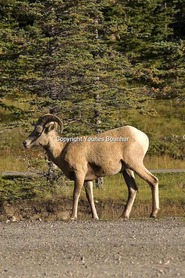Ram in Banff