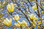 Magnolia blossoms at the Arnold Arboretum in the Jamaica Plain neighborhood, Boston, Massachusetts, USA