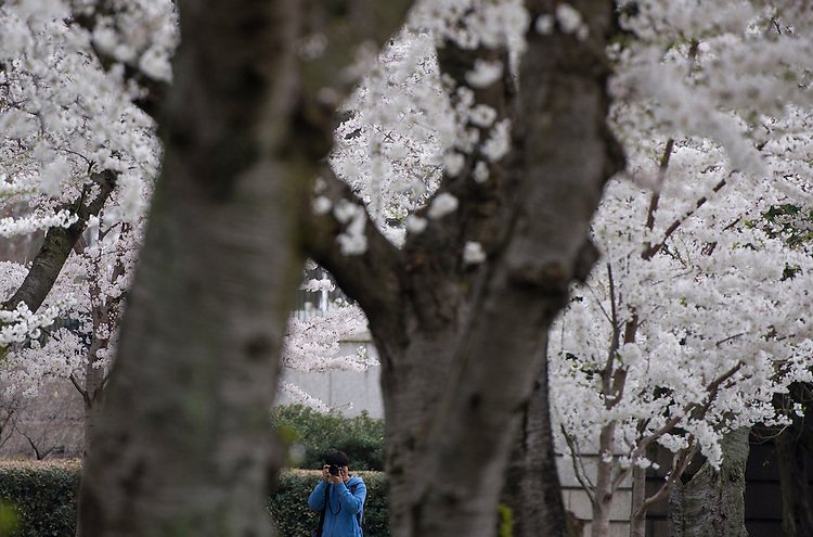 UNITED STATES - APRIL 10: A tourist takes photos of the cherry blossom trees in the Lower Senate Park on Friday, April 10, 2015, as the blossoms near peak bloom. (Photo By Bill Clark/CQ Roll Call)