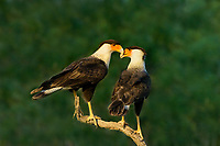 511580096 a wild pair of crested caracaras caracara plancus interact while perched on a dead snag in the lower rio grande valley of south texas
