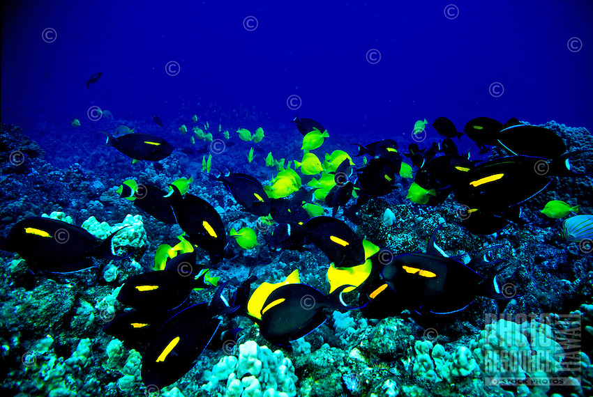 The brightly colored Yellow Tang ( Zebrasoma flavescens ) easily catches the eye of snorkelers and scuba diver.  Hawaiian name is ( lau ipala)