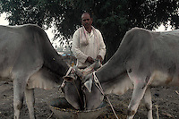 A cattle owner feeds his cattles at Sonepur fair ground. Bihar, India, Arindam Mukherjee