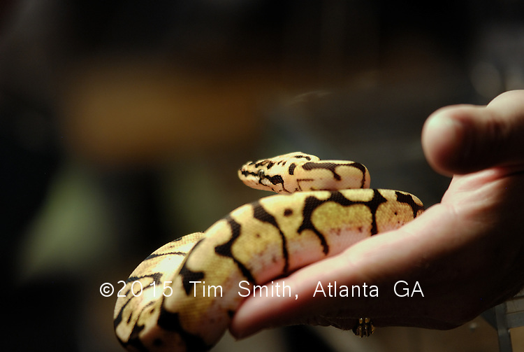 Beautiful and highly prized 'Bumblebee' morph ball python will make a great pet and has the genes for even greater offspring:  ball python breeding is fairly big business and a fanatically pursued hobby in and outside of the US and Britain.