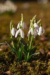 Kleines Schneeglöckchen, Galanthus nivalis, Amaryllisgewächse, Amaryllidaceae, Vaduz, Liechtenstein.