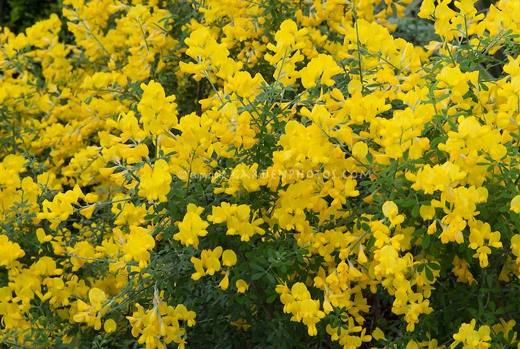 Genista X Spachiana In Flower Plant Flower Stock Photography