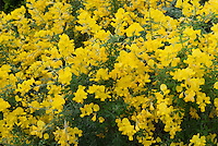 Easter Broom Genista spachiana in spring bloom with lots of pea like yellow flowers on bush