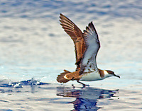 Greater shearwater taking off