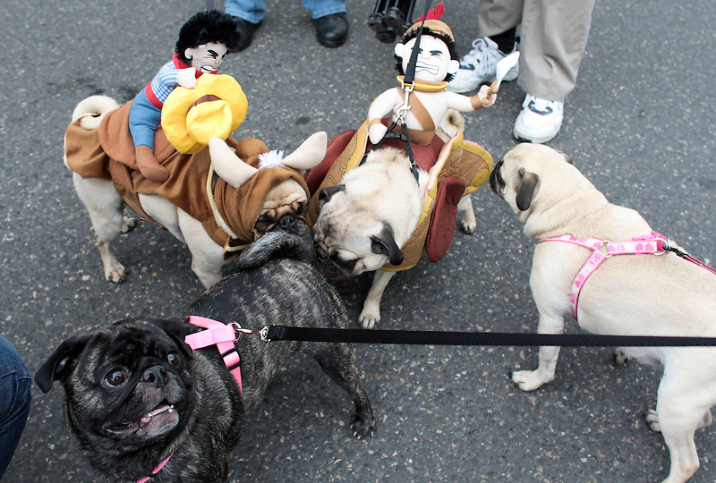 Pugs greet one another with traditional butt sniffing at Portland's annual Pug Crawl.
