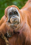 A Sumatran orangutan cups her chin in her hand and stares pensively into camera. It is impossible not to anthropomophize one of our closet human relatives.