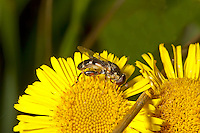 Thick-legged Hoverfly - Syritta pipiens