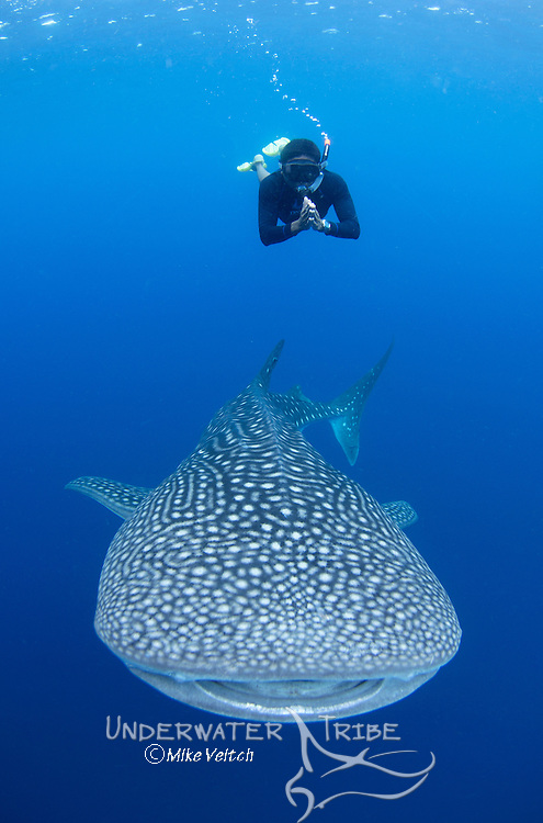 A snorkeler dives down with a whaleshark, Rhincodon typus, under a fishing platform, these sharks are friends with the fishermen who hand feed them at Cendrawasih Bay, West Papua, Indonesia, Pacific Ocean