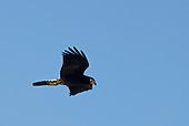 Pará State, Brazil. Black bird.