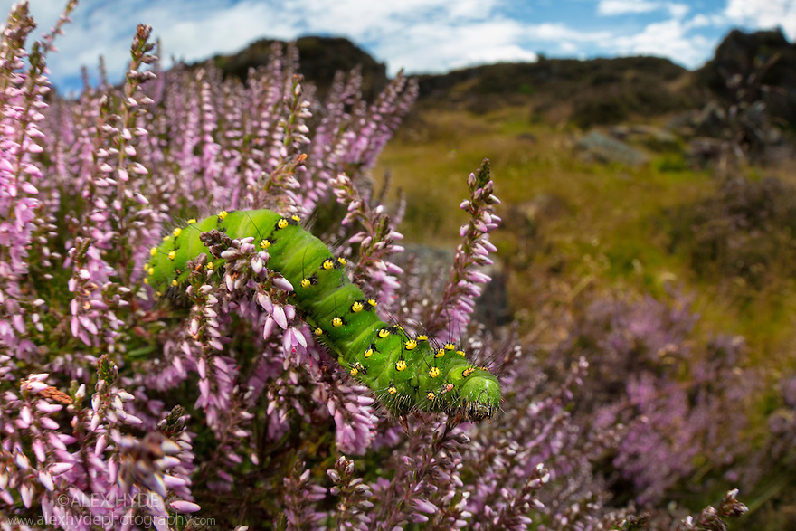 Emperor Moth {Saturnia pavonia} caterpillar feeding on Ling Heather {Calluna vulgaris} photographed with a fisheye lens to show surrounding environment. Peak District National Park, Derbyshire, UK. August.