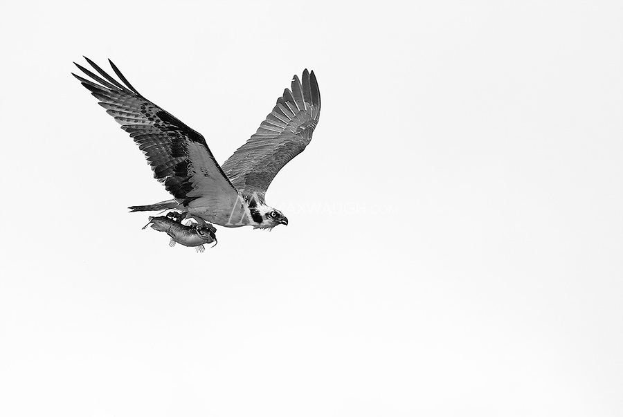 I witnessed the dive from a great distance, but was lucky that this osprey flew in my direction with its catch.