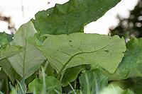 Große Klette, Grosse Klette, Butzenklette, Blatt, Blätter vor der Blüte, Arctium lappa, greater burdock, gobō, edible burdock, lappa, beggar's buttons