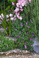 Flowering cranesbill Geranium sanguineum, sprawling groundcover in cracks of stone steps with rose 'Cornelia' ; Gary Ratway garden