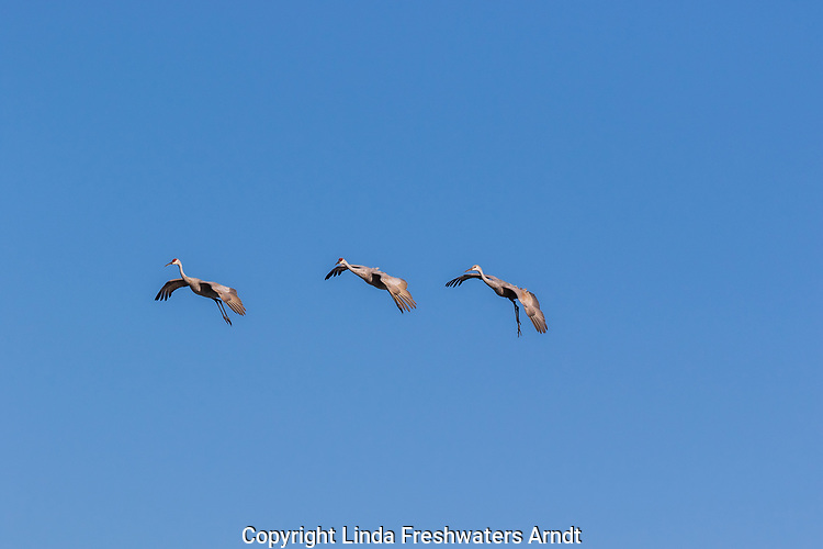 Sandhill cranes coming in for a landing at Crex Meadows Wildlife Area.