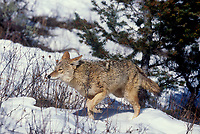 617506047 a captive coyote canis latrans wanders through heavy snow in a small forested area in central montana