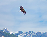 Bald eagle flies along a coastal ridge near Seward, Alaska.