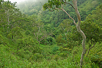 Forest on the upper slopes of Mount Manucoco, Atauro Island, Timor-Leste (East Timor)