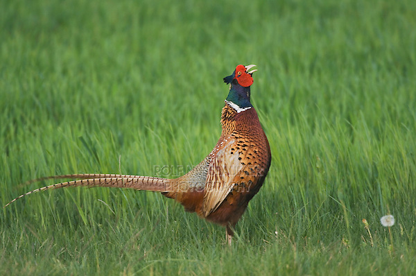 Ring-necked Pheasant, Phasianus colchicus,male calling, National Park Lake Neusiedl, Burgenland, Austria, April 2007