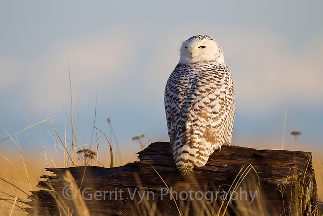 Immature Snowy Owl (Bubo scandiacus) roosting on a drift wood log. Grays Harbor County, Washington. December.