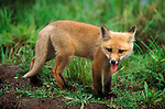 Red Fox, Vulpes fulva, Minnesota, cub 11 weeks old, in undergrowth, red phase, summer, captive.USA....