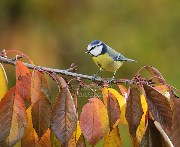 Blue Tit (Parus caeruleus), adult perched on autumn branch of Cherry tree (Prunus sp.), Oberaegeri, Switzerland, Europe