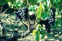 Weinrebe, Weintraube, Weintrauben, Wein, Früchte, Wein-Rebe, Vitis vinifera, Grape Vine