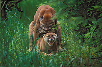 Cougar/Mountain Lion/Puma..Male and female mating..Pacific Coast, Washington. USA..(Felis concolor)