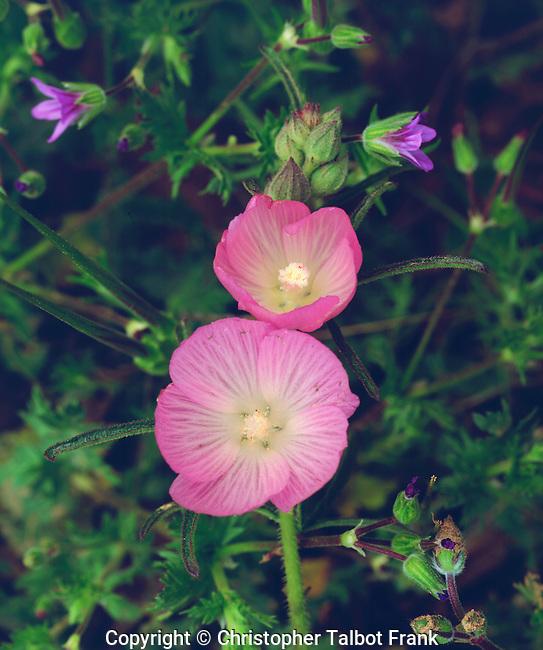 USA; California; San Diego. Checker Bloom Wildflowers in Mission Trails Regional Park