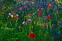 Poppies and other garden flowers<br /> Brandon <br /> Manitoba<br /> Canada