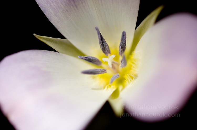 a close-up of a lavender Mariposa lily wildflower