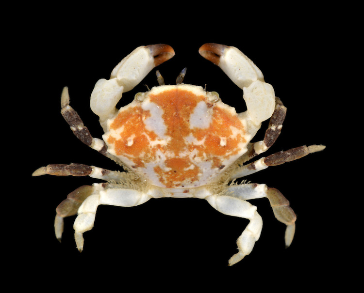 Furrowed Crab - Xantho incisus - Juvenile