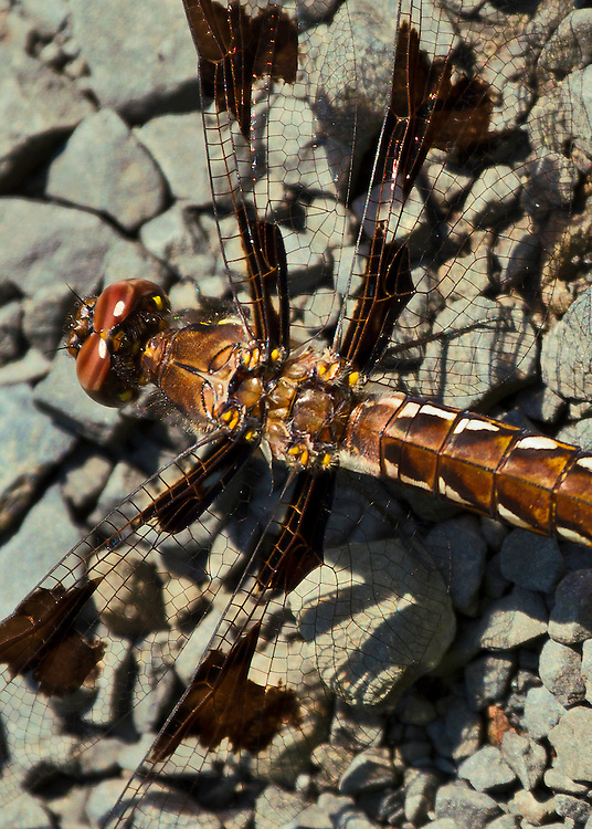 A close up of the head, thorax and wing structure of a Common Whitetail Skimmer dragonfly sitting on a bed of stones with wings fully open.