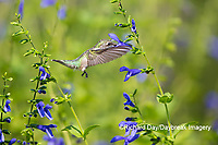 01162-15208 Ruby-throated Hummingbird (Archilochus colubris) at Blue Ensign Salvia (Salvia guaranitica ' Blue Ensign') in Marion County, IL