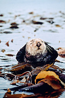 California Southern sea otter, Enhydra lutris nereis, endangered species, resting in kelp, Monterey Bay National Marine Sanctuary, California, North East Pacific Ocean