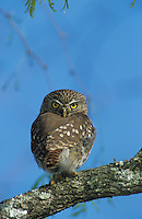 Ferruginous Pygmy-Owl, Glaucidium brasilianum, adult, Willacy County, Rio Grande Valley, Texas, USA, June 2004