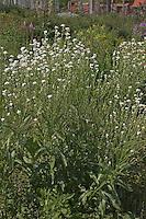 Gewöhnlicher Meerrettich, Meer-Rettich, Armoracia rusticana, Horseradish, Cran, Cranson