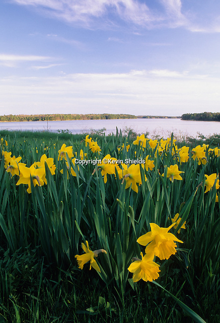Daffodils growing on the shore, Brunswick, Maine, USA