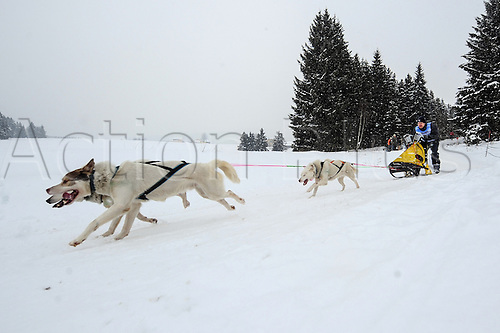 16.02.2013. Haidmuehle, Germany.  Sled dogs pull their musher during the European sled dog championship in Haidmuehle, Germany, 16 February 2013. Around 200 participants compete in the race.