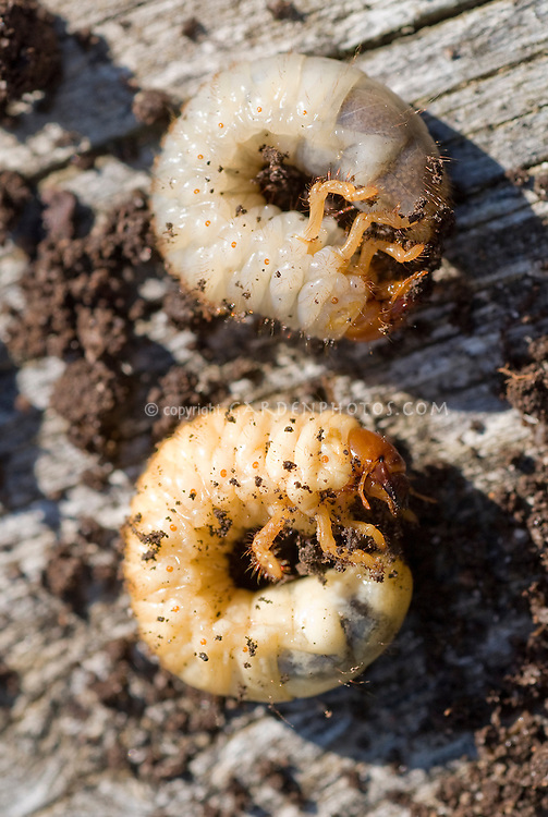 Insect pest larvae of chafer beetles, garden problem, larvae eats roots and plants, closeup macro of bug
